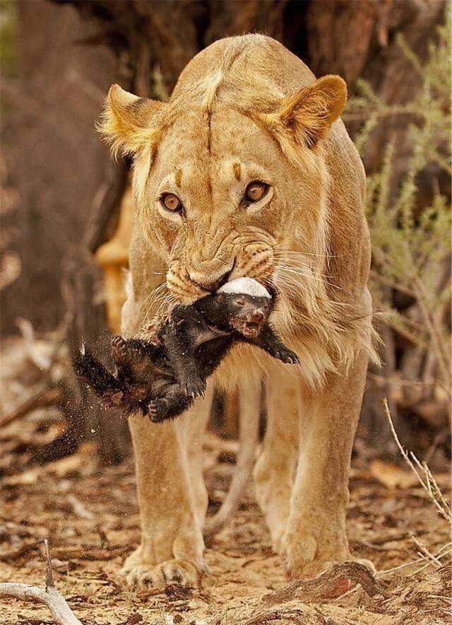 盘点草原动物的霸气战斗场面,生死看淡的平头哥被干的