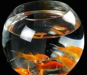世上所有的观赏鱼,都代替不了这种观赏鱼,大家信不?