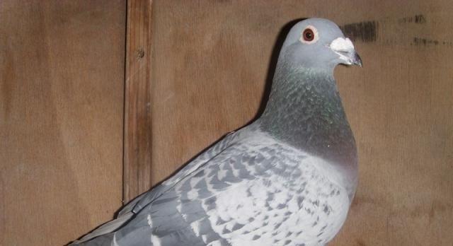 教你制作一个对鸽子有益处的食物