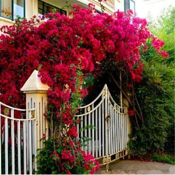 巴西三角梅花一年花开200多天,比玫瑰还漂亮! - 周公乐 - xinhua8848 的博客
