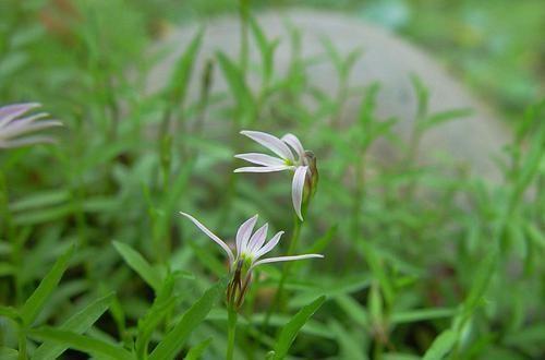 """农村溪流边的野草,农民称""""细米草"""",如今30一斤,见到可要珍惜幼苗野生植物"""