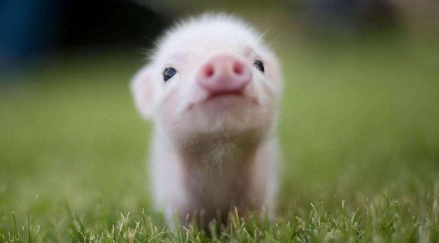 茶杯猪是一种小型的猪品种,由两种小型的猪杂交生下来的,整只小猪的体积只有茶杯那么大,随着出现在市面上,它迅速的受到了爱宠人士的欢迎。这种茶杯猪的培育相当繁琐,与此同时,能够成功的概率也很低。对于刚刚出生的来说,它的体型比家猫还要娇小,差不多只有半斤左右。即使它们一天天长大,成长到成年,体型也要比一般的猪类小得多,体型一般不会超过可卡犬。