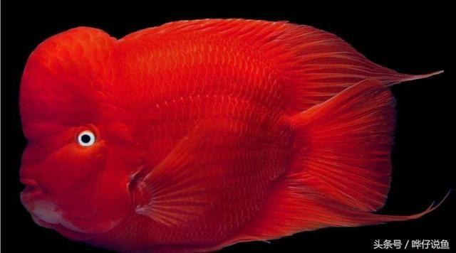 排名第一的国民宠物鱼马云都是它的粉丝--爱上鹦鹉鱼爱上发财