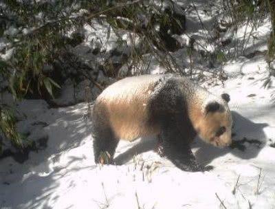 <b>都说大熊猫很白,但是有雪白吗?看到对比后,确定不是黑熊?</b>