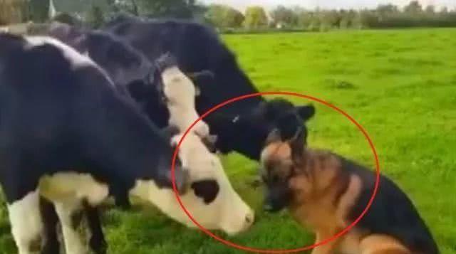 网友养了只德牧,打算成年后用来放牛,带到农场后却笑了