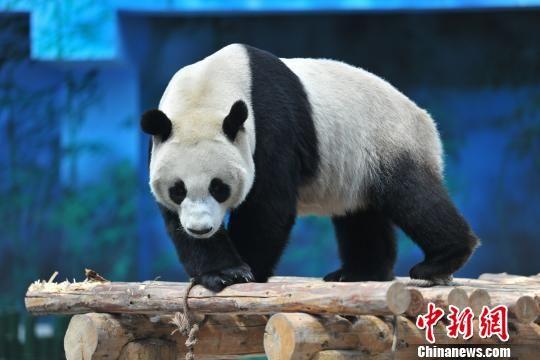 """""""千金""""变""""少爷"""" 沈阳森林动物园更正大熊猫性别"""