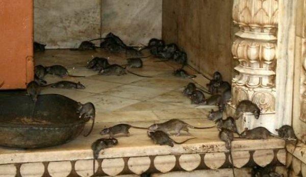 印度一座神庙供奉万只老鼠,他们把老鼠当神供,吃喝比人还好!