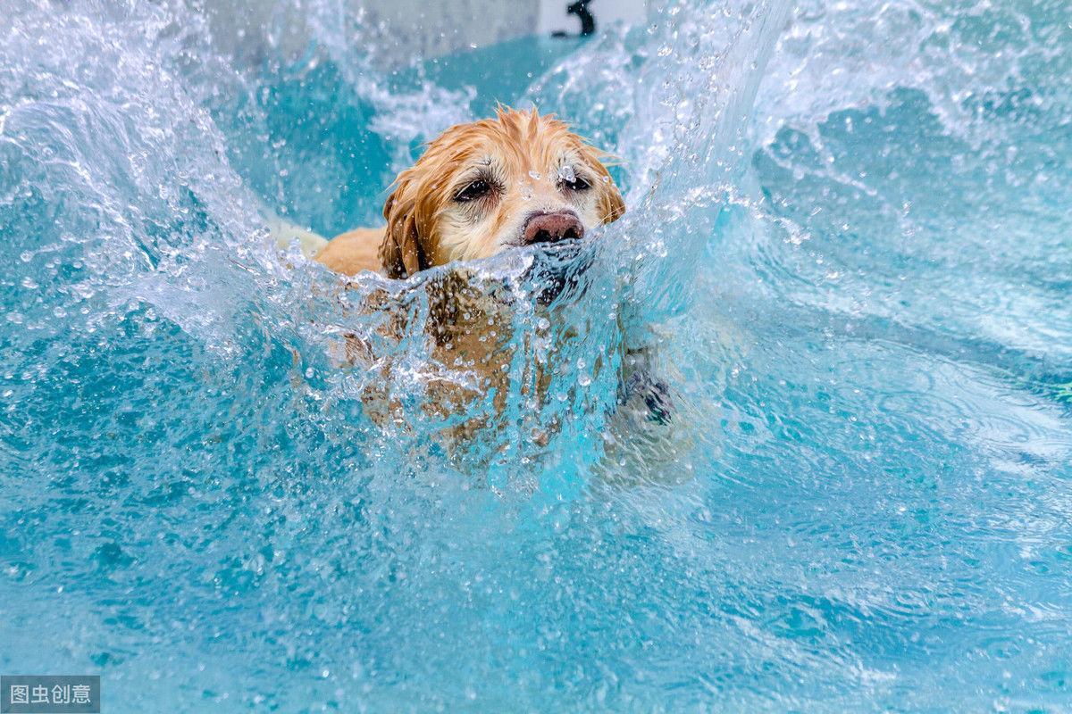 夏天想带狗狗去游泳?主人要警惕水中毒,狗狗中招得无声无息