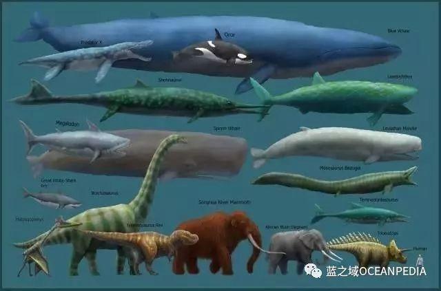 关于世界上最大的动物蓝鲸的11个真相!