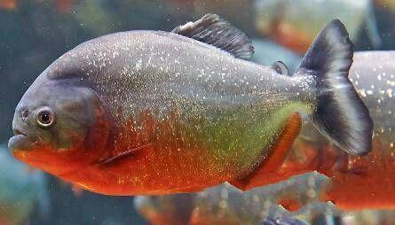 亚马逊河10大最危险的动物,食人鲳第十,牛鲨第五,牙签鱼榜首