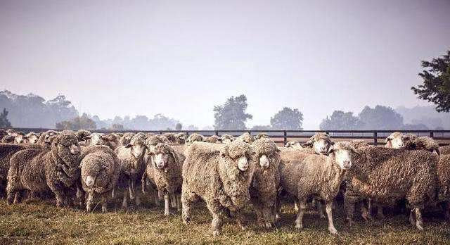 地球最憋屈的顶级食肉动物因被冤枉袭击羊群而被牧民灭绝