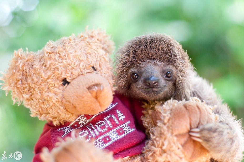 (图片来自东方ic) 一只树懒和它的玩具熊.(图片来自东方ic)