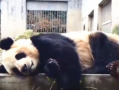 """大熊猫碰到""""话痨""""饲养员,午觉睡不成,熊猫:我这暴脾气!"""