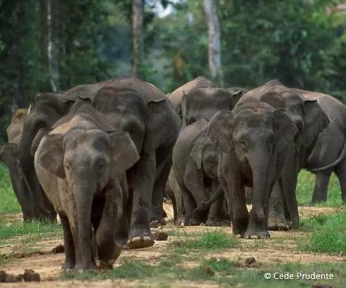 世界大象日特辑-认识陆地上最大的哺乳动物