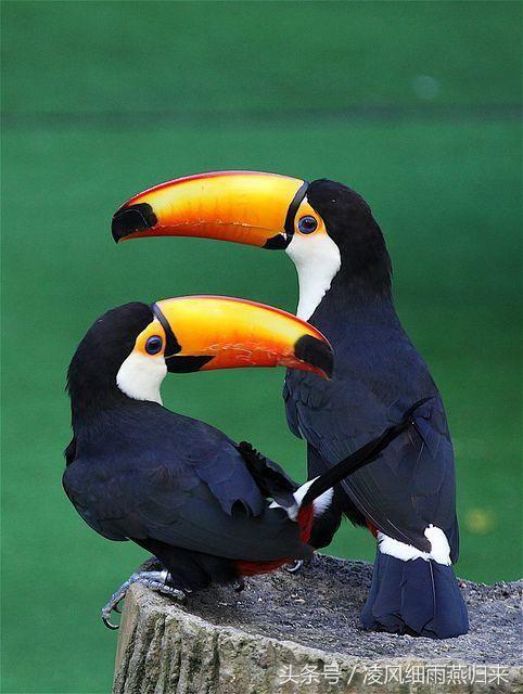生活资讯_拥有这世界上最大嘴峰的鸟类巨嘴鸟_【快资讯】