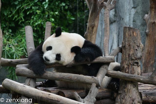 在成都,除却文化和美食,最不能忽视的便是大熊猫了,而距离市中心15公里的熊猫基地,则是最方便近距离观赏大熊猫的地方了。 基地共饲养100 多只大熊猫,这里既是大熊猫繁育科研机构,也是模拟大熊猫野外栖息环境的生态公园,里面生态环境非常好,在这里可以看见不同体态、不同年龄的大熊猫,运气好还可以看见刚出生不久的熊猫宝宝。  虽然熊猫基地的开放时间是7:3018:00,但是去的时间不对,你也许根本就看不到大熊猫。因为熊猫除了就餐时间以外,大部分时候都是躲在角落做一个安静的美男子,所以,去熊猫基地参观,最好赶在早