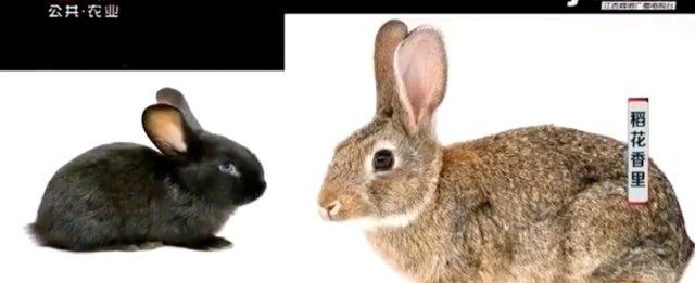 万载肉兔独一无二 不仅肉质鲜美 价格跟其他兔子想必能贵出20一斤