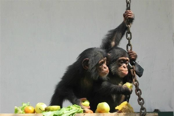 2007年9月,由北京动物园转来两只黑猩猩,他们出生于2006年1月,有着相