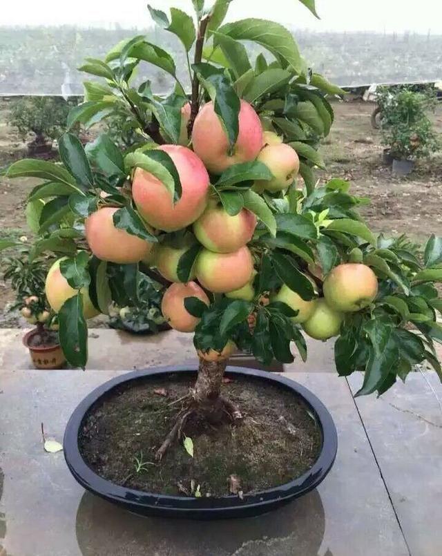 苹果盆景! - 周公乐 - xinhua8848 的博客