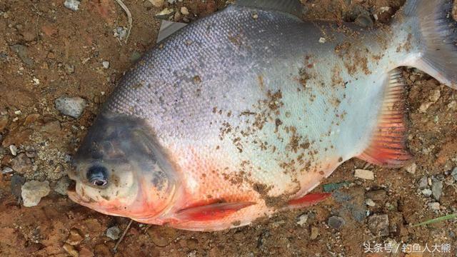 """东江钓到入侵物种""""食人鲳""""满嘴利齿弱弱问下这鱼能吃吗?"""