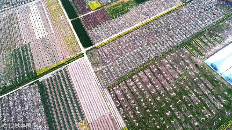 2018年4月1日,江苏南通,航拍海安县大公镇万亩梨园