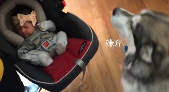 女主人生了宝宝,结果狗子一脸嫌弃,狗:怎么啥都带回家?