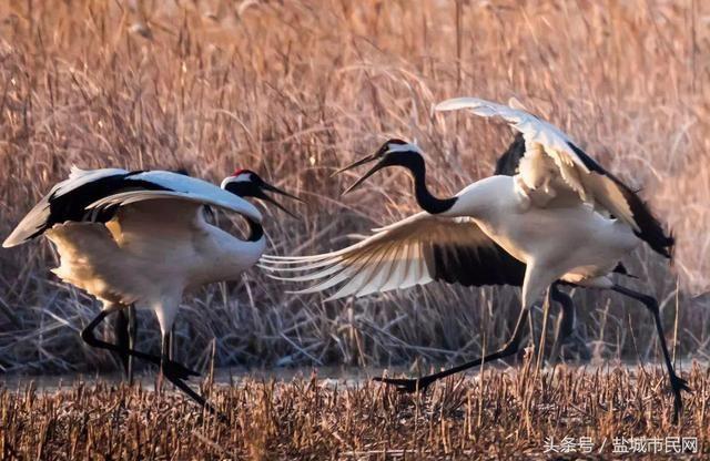 5 鹤舞翩翩 江苏盐城丹顶鹤湿地生态旅游区,地处江苏中部沿海,是我国