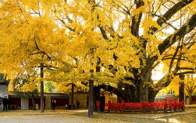 山东有一棵银杏树,已活了4000年,有12层楼一样高,您见过吗