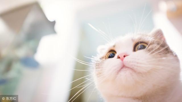 猫胺可以预防猫鼻支吗?专家提醒猫鼻支不可忽视