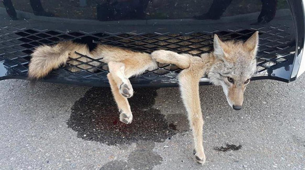 司机开车撞到鹰,高速路遇小动物到底该撞不该撞?