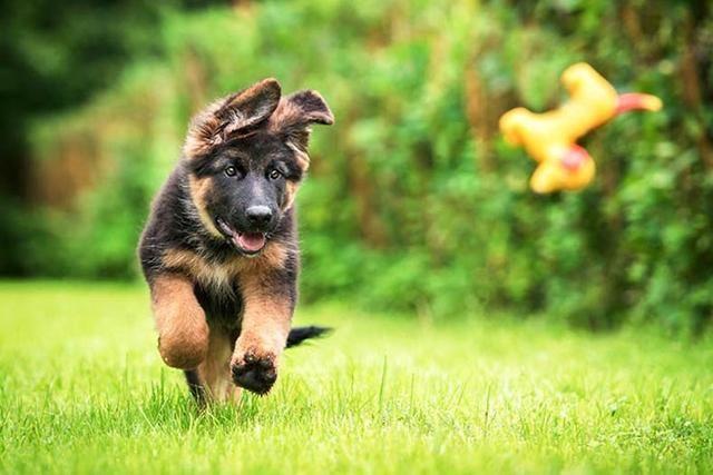 接回家的狗狗不知道怎么教?了解狗狗的学习模式,让你训练更轻松