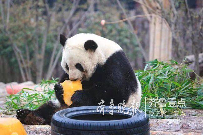 动物消暑有凉方!国宝熊猫吹空调,红毛猩猩吃雪糕