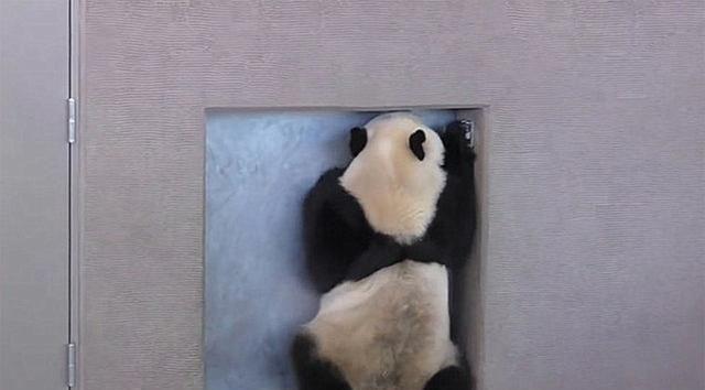 饲养员发现大熊猫在越狱,刚想批评几句,看见它的表情笑了
