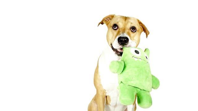 为什么狗狗咬住玩具后要把它甩来甩去?可爱的背后蕴藏着狩猎本能