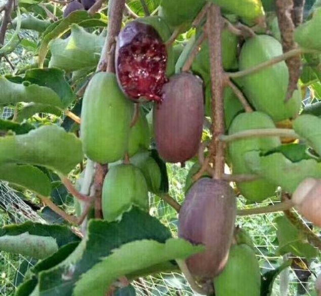 我国最好吃水果,比葡萄苹果好吃,院子种2棵,结果100斤