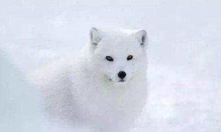 情感测试:4只狐狸,凭直觉选一只,测出你最出众的气质是什么
