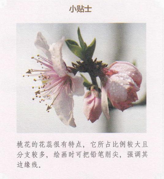 桃花结构图并带名称图