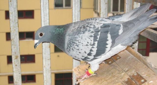 怎么看赛鸽的羽毛质量好不好?