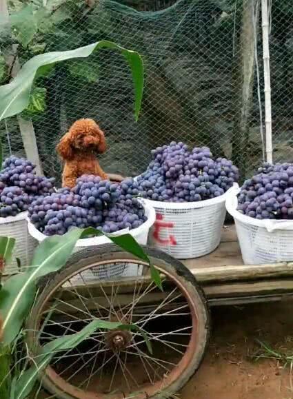 泰迪负责帮主人运输葡萄,一颗葡萄也不偷吃,尽职尽责