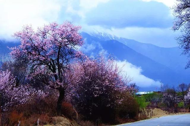 中国最美春天,就在西藏林芝,桃花灿烂盛放,美到窒息