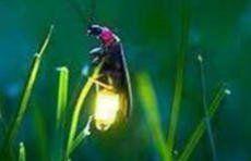七夕的萤火虫,还能为我们点着童年那浪漫的灯吗?