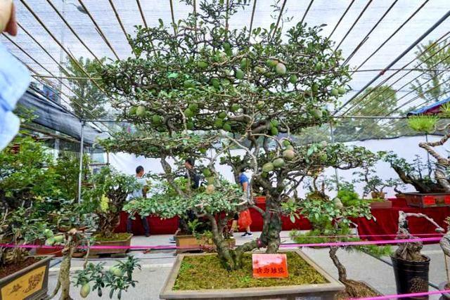2018保山端阳花街开街 一株木瓜树盆栽售出14.6万高价