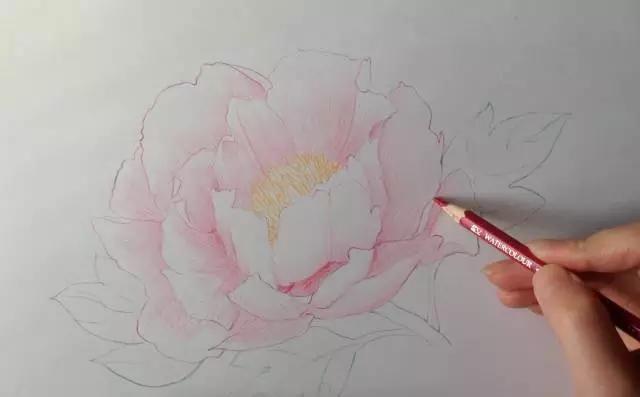 彩色铅笔画牡丹花手绘过程丨彩铅花卉图文教程图片