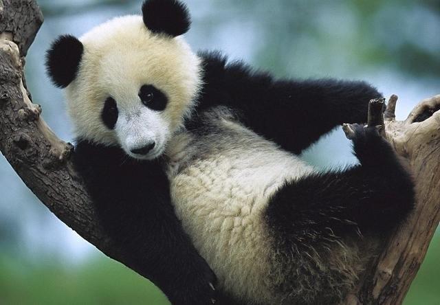 古老而又现代的英国王室,这几个特征和国宝大熊猫扯上