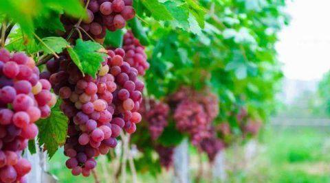 洗葡萄不能只用水冲 你未必知道