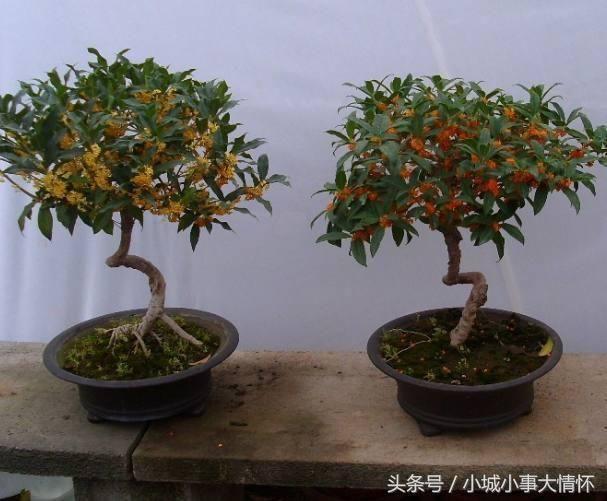 木本大叶植物盆栽