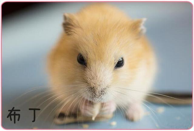 细菌,可爱的小萌宠,好多人喜欢,没养过的都问:它有攻略?小青蛙喝水11仓鼠图片