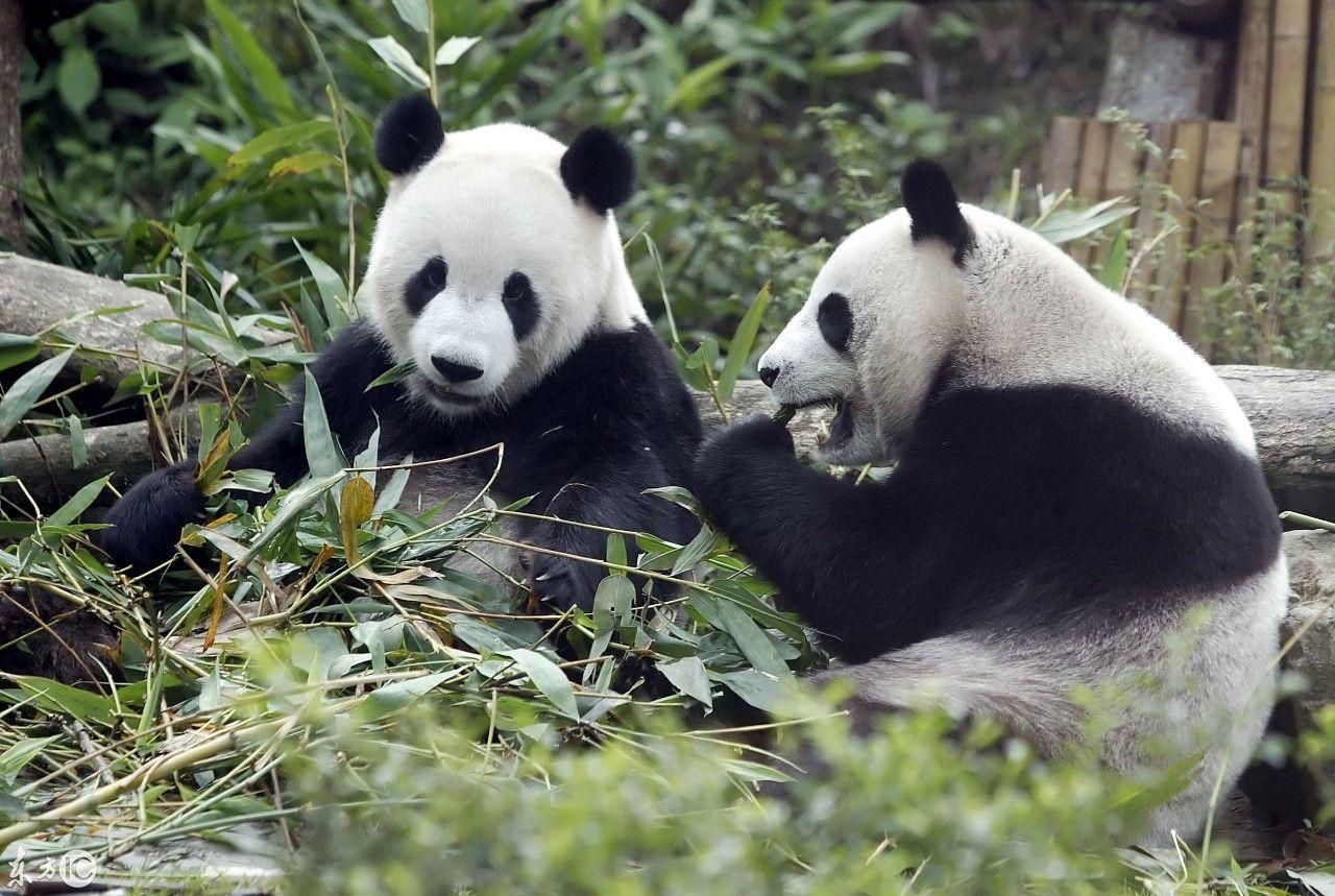 """大熊猫""""团团圆圆""""入住台北动物园."""