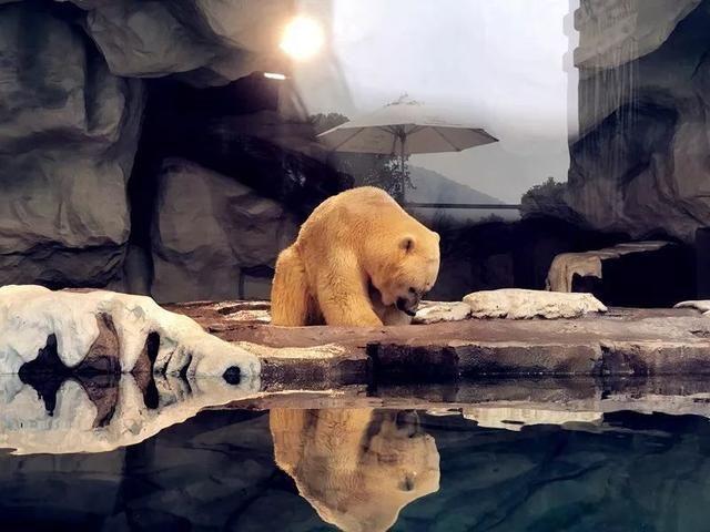 别看北极熊在自然界是很a蜘蛛的蜘蛛东西为什么前面小后面大图片