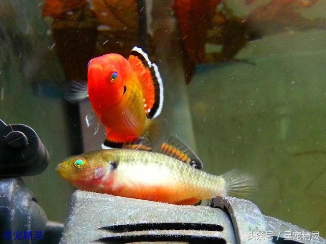 值得饲养的三种小型观赏鱼拥有令人赞叹的华丽体色 观赏鱼常见疾病 重庆水族市场第7张